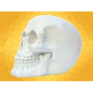 Crâne Blanc Nacré Squelette Humain Décoration Gothique